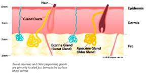 glandulas1